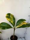 Magnolia grandiflora variegata- магнолия-растение с фото