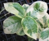 Ixora sp.(T09) variegated