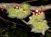 Syzygium erythrocalyx -Новинка-Австралия