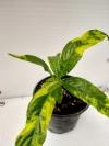 Клеродендрум валичи вариегатный-растение с фото