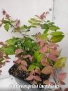 Austromyrtus inophloia