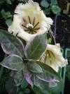 Solandra grandiflora albomarginata