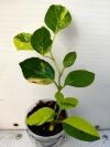 Premna serratifolia-вариегатный черенок с фото