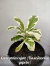 Crescentia cujete (Калебасовое дерево) -растение с фото