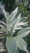 Syzygium  с белой вариегатностью