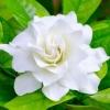 Gardenia ocean pearl