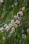 Agonis flexuosa [Willow Myrtle]