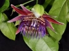 Passiflora  venusta