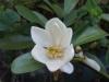 Michelia laevifolia