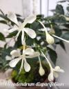 Clerodendrum disparifolium
