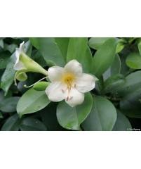 Fagraea ceilanica  -цветы ароматные