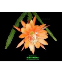 Epiphyllum king midas