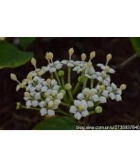 Duperrea pavettifolia