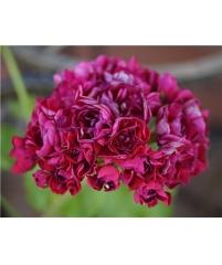 Пеларгония monseruds rosen  (фото инет)