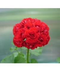 Пеларгония red rambler (фото инет)