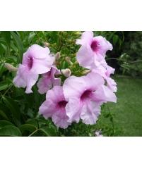 Пандорея jasminoides bower of beauty vine