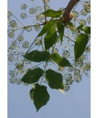 Steganotaenia araliacea-морковное дерево