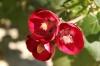Phymosia umbellata-Фимозия зонтичная -Новинка