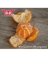 Miyagawa nucelare C. unshiu