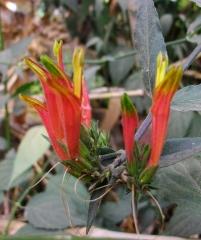 Клинакантус нутанс, Clinacanthus nutans