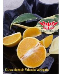 Citrus sinensis Valencia Variegata, апельсин