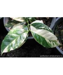 Кофе arabica variegated (прививка)