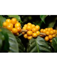 Кофе с желтыми плодами