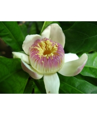 Лотосовое дерево (Gustavia augusta)