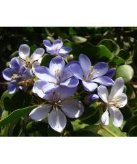 Гваяковое дерево, Guaiácum officinále