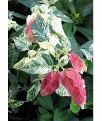 Белопероне guttata variegata