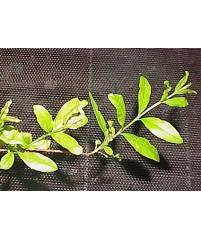 Punica granatum variegata (гранат)