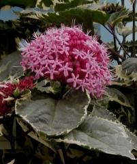 Clerodendron Bungei Variegata