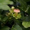 Afzelia xylocarpa
