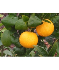 Citrus sinensis Ordo