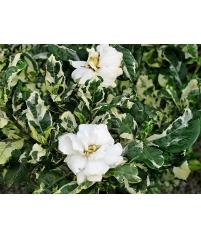 Гардения angusta variegated