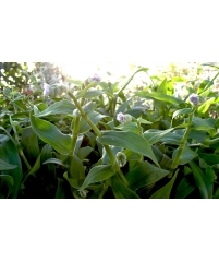 Мурданния лориформис, Murdannia loriformis