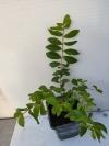 Лагерстремия Rose растеие с фото