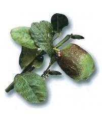 C. limonimedica Bicolor, Цитрон биколор