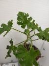 Пеларгония 'Royal Oak'