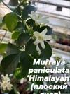 Murraya paniculata 'Himalayan' (Giant leaf)