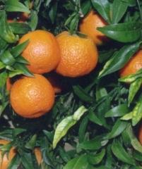 Caffin citrus clementine, мандарин