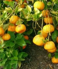 Citrus canaliculata