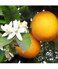 Citrus aurantiaca