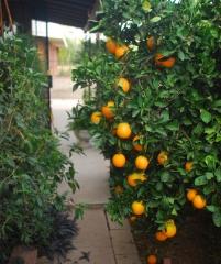 Апельсин Lane Late