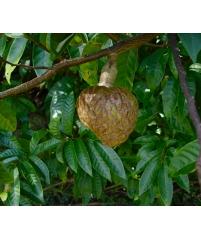 Аннона сетчатая  (Annona reticulata ) или Кремовое яблоко