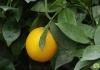 C. sinensis Morita Апельсин