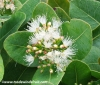 "C. sinensis ""Tarocco foliis variegatis"