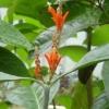 Geissomeria macrophylla  редкость