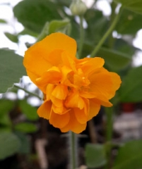 Желтый махровый абутилон