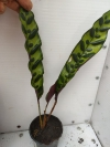 Calathea Lancifolia-Калатея Ланцефолия